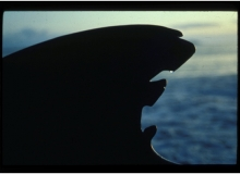 1992, October 27, Parengarenga Harbour, Northland, Pilot Whales
